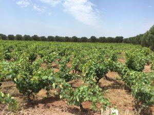 Tour 3 Morella vineyard