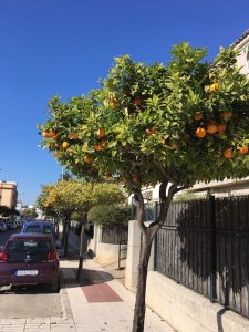 Jerez Wine Tour Seville oranges in January