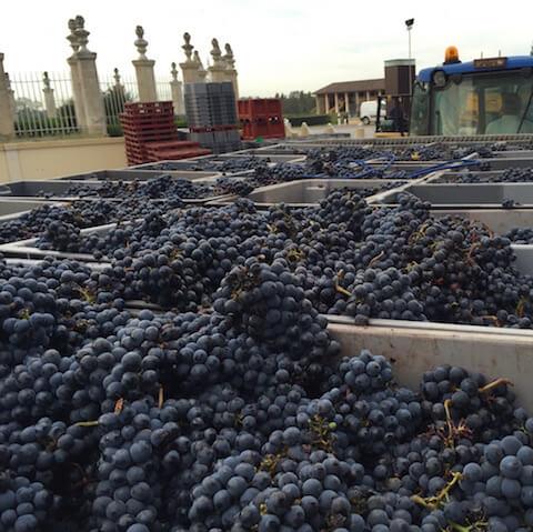 Bordeaux Wine Tour Ch Beychevelle harvest