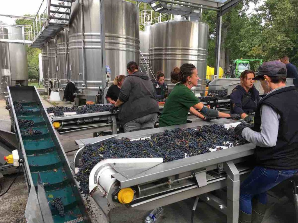 Hand sorting of grapes at Giscours